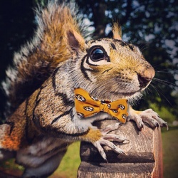 Tigersquirrel